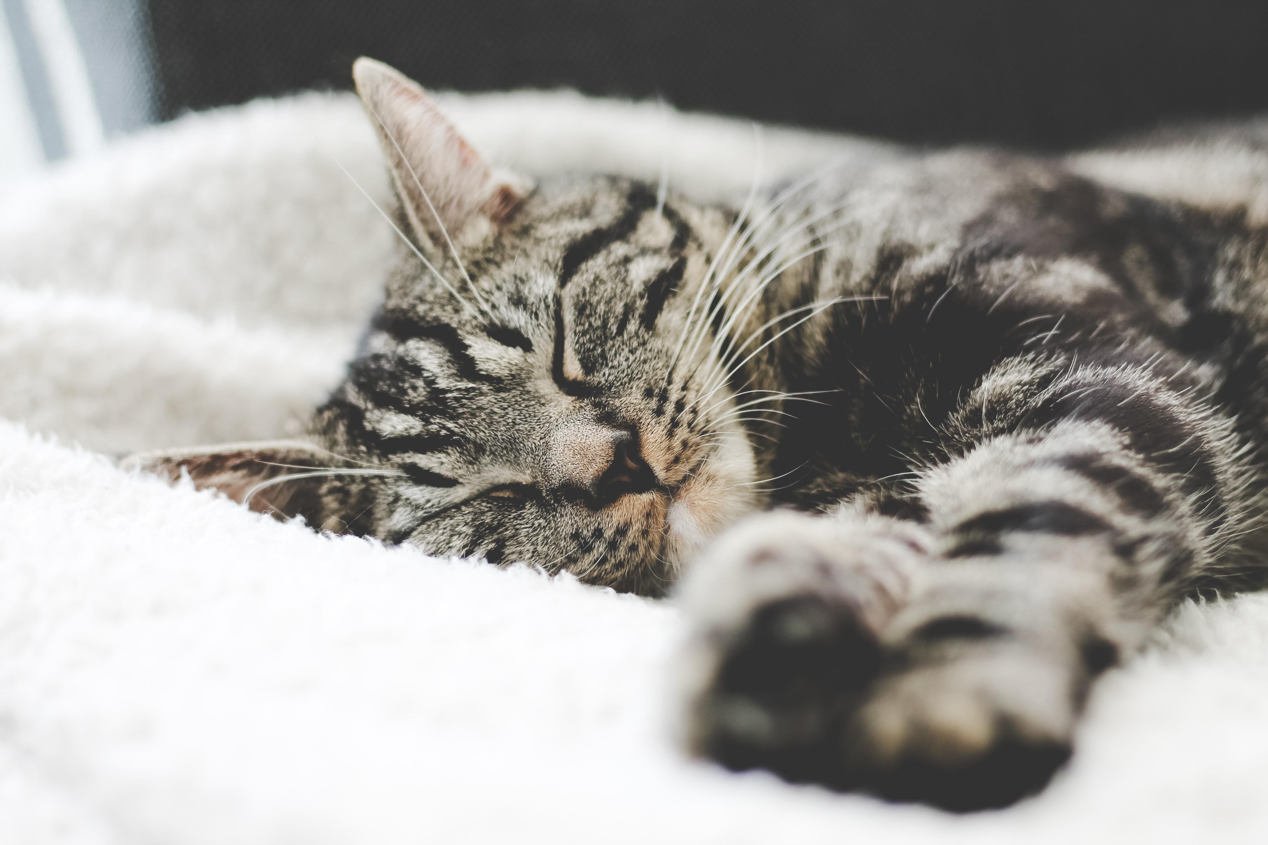 Grey, black and white sleeping cat on fluffy white blanket